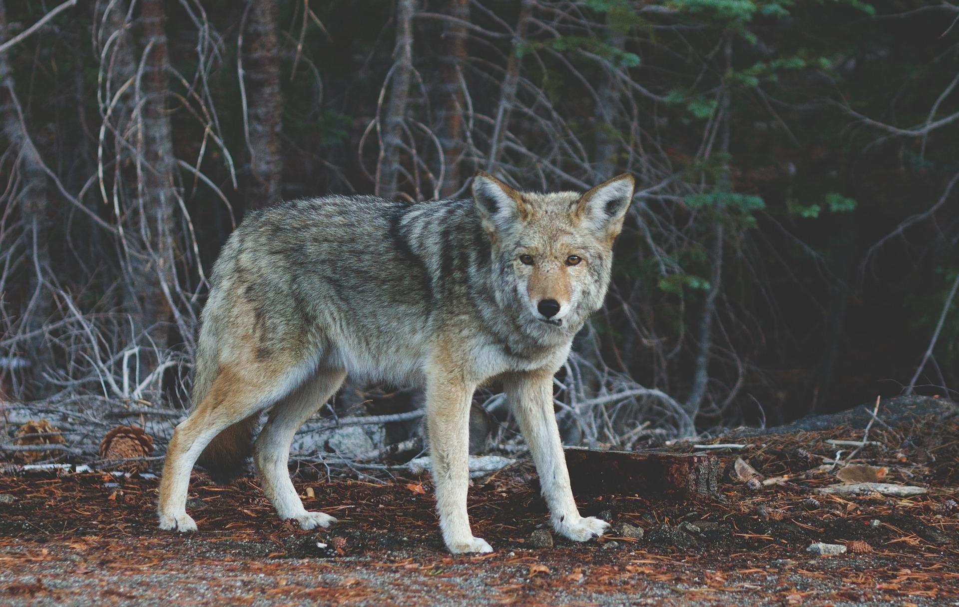 na fotografii znajduje się wilk